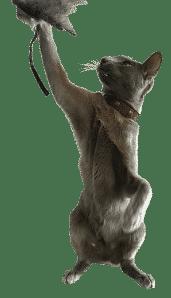 Loki, une des égéries de la marque d'accessoires pour chats Nominoo, qui joue avec un Toodoo